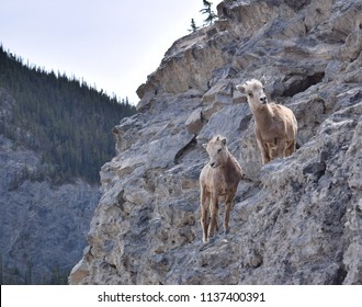 An inquisitive and adorable pair of baby bighorn sheep cling to the side of a steep mountainside near the town of Canmore just outside Banff National Park in Alberta, Canada