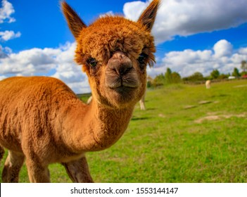 An inquisitive alpaca posing for a photo