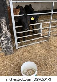 Inquisitive black calf