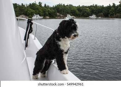 Inquisitive black and white Portuguese Water Dog looking over the side of a boat