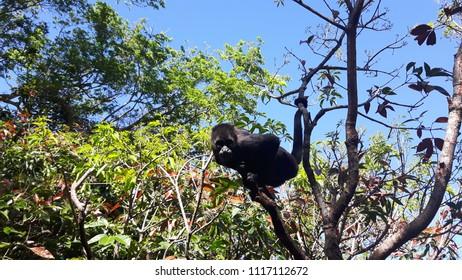 An Inquisitive Howler Monkey