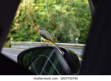 An inquisitive little gray wagtail that landed on the car side mirror and posed for photos.