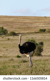 Inquisitive Ostrich twisting his body to look around in the field