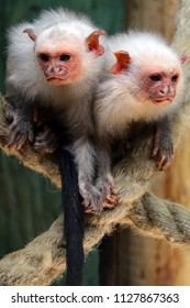 An inquisitive pair of silvery marmoset monkeys playing on ropes