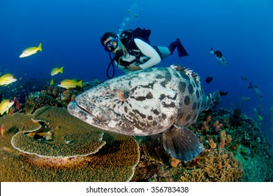 A inquisitive potato grouper, epinephelus tukula, swimming close by a scuba diver
