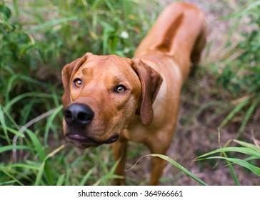Inquisitive Rhodesian Ridgeback in long grass