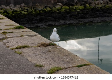 An inquisitive seagull in Howth, Co, Dublin, Ireland