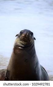 Inquisitive seal, La Jolla Cove, California