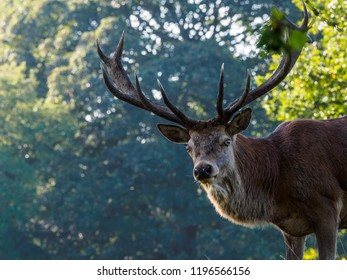 Inquisitive stag at Tatton Park
