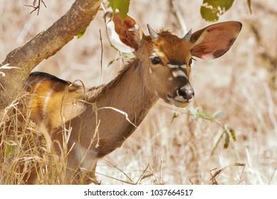 Inquisitive young nyala