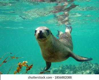 An inquistive sea lion underwater