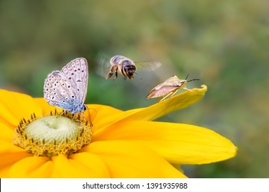 Insect biodiversity on a flower, a butterfly common blue Polyommatus icarus, a bee Anthophila in flight and a shield bug Carpocoris fuscispinus on a yellow Rudbeckia