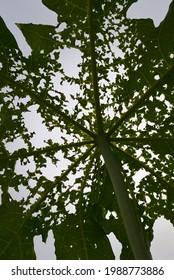 Insektenbeißmarken auf Papayablättern