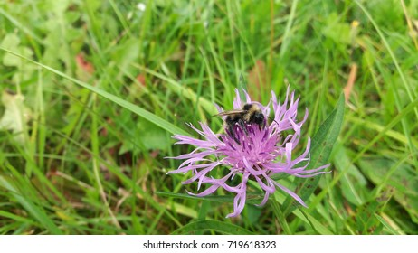Insect (bumble bee) on a violet - pink meadow flower (knapweed) at late summer - early autumn.