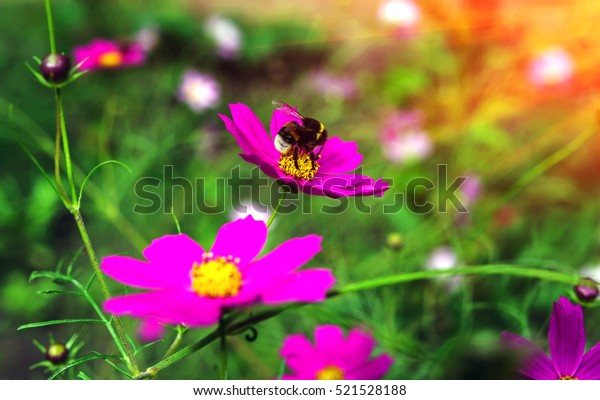 insect bumble bee pollinates a beautiful pink flower in the summer at sunset