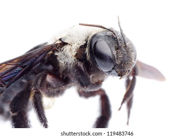 insect carpenter bee isolated