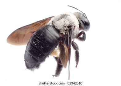 insect carpenter bee isolated on white