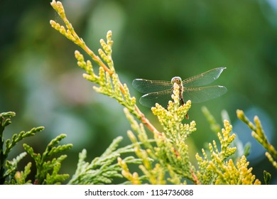 Insect Dragonfly Odonata
