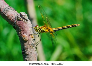 Insect dragonfly sits on a wooden peg on a green background in the sunlight, side view, closeup.