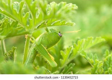Insect eating leaf. mantis, praying mantis