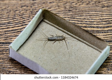 Insect feeding on paper - silverfish. Pest books and newspapers. silverfish in a matchbox.