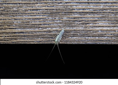 Insect feeding on paper - silverfish. Pest books and newspapers. Silverfish on the edge of a wooden board.