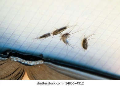 Insect feeding on paper - silverfish. Pest books and newspapers. silverfish of several pieces near the open book.