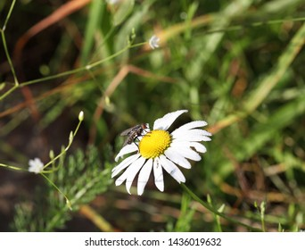 Insect fly on chamomile, macro shot close-up. Selective focus and place for text