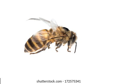 insect honey bee isolated on white