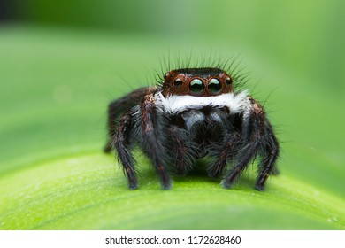 Insect Jumping spider (Salticidae) macro at 3X magnification, stay on green leaf, Very sharp and beautiful colors.