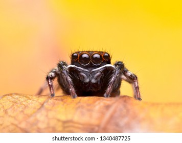 Insect Jumping spider (Salticidae) macro at 3X magnification, stay on leaf, Very sharp and beautiful colors.This wildlife from asian thailand.Take image by supermacro equipment.