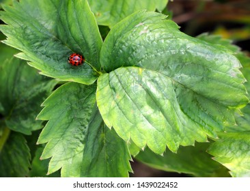 insect ladybird or Coccinellidae or Ladybug or Lady beetle on dark green leave in summer