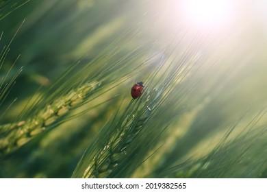 insect ladybug on wheat ears.