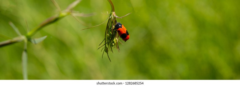 insect leaf beetle sitting on a leaf of a plant in a meadow. Spring season. Short-horned Leaf Beetle. Banner for design.