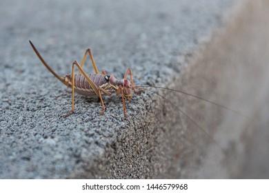 Insect locust close up. Migratory Locust, Locust, Locusta migratoria.