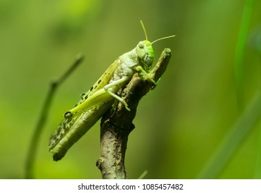 insect of locusts