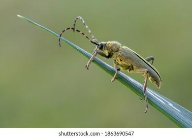 insect - longhorn beetle - Lepturobosca virens