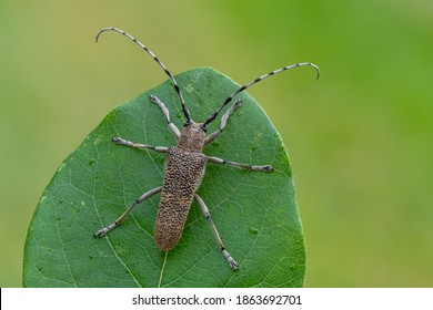 insect - longhorn beetle - Saperda carcharias