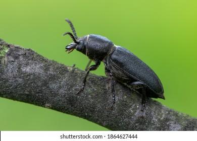 insect - longhorn beetle - Spondylis buprestoides