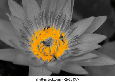 Insect in the lotus