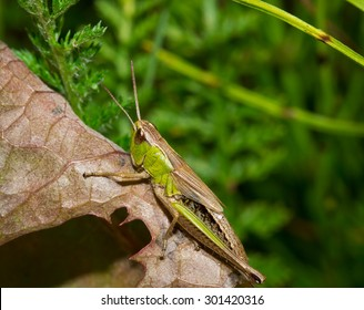 Insect macro grasshopper sits on a leaf ( selective focus)