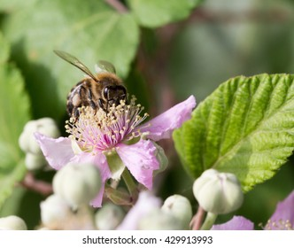 Insect in macrophotography (Apis mellifera)