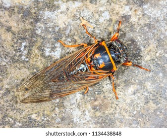 insect makes an unpleasant sound of Cicada close - up view from above