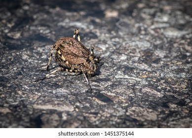 Insect Mountain Katydid, Acripeza reticulata, found near Mt Hotham Victoria Australia