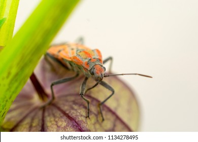 Insect on indian Husk Tomatoes plant close up