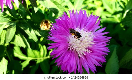 Insect on a Persian cornflower or whitewash cornflower (Centaurea dealbata)
