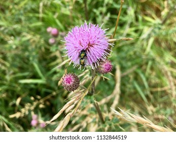 Insect on thistle flower, Seaton Carew Sand Dunes, Hartlepool, England