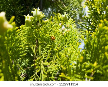 insect perched on the leaves of a pine