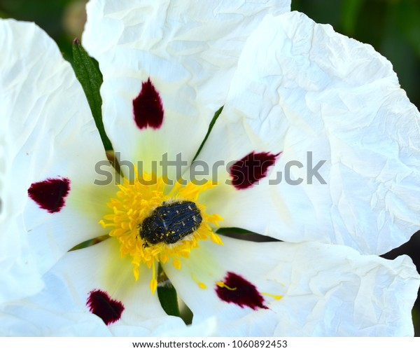 Insect and Rockrose Isolated