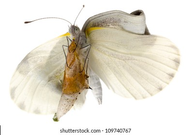 insect small white butterfly emergence with cocoon isolated